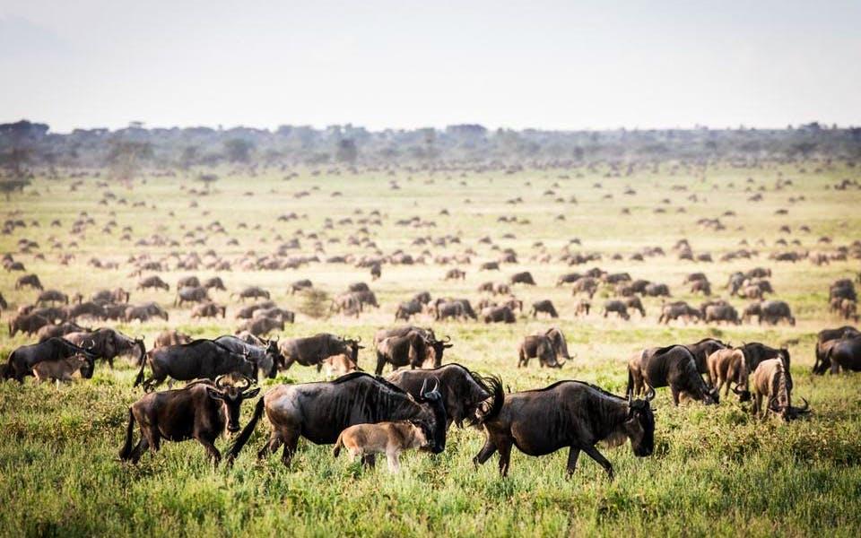 The Journey Of Wildebeest Migration Safari